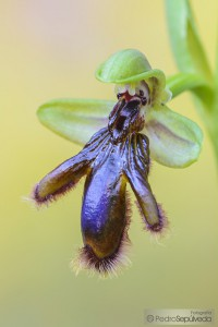 Ophrys vernixia_PSM0507